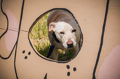 I spy (Kathryn Willis) Tags: park dog festival mutt labrador tn memphis canine dogpark mixedbreed shelbyfarms dogaroo