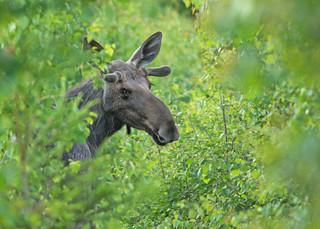 Elk bull portrait