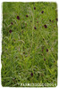 Sanguisorba officinalis 'Great Burnet' (farmer dodds) Tags: herb codurham rosaceae sanguisorba greatburnet sanguisorbaofficinalis