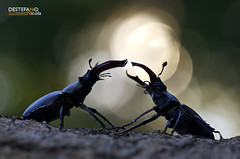 Stag Beetle (Nicola Destefano) Tags: italy male animal insect wildlife fighting vu piedmont vulnerable stagbeetle coleoptera lekking behaviour lucanuscervus lucanidae cervovolante iucnredlist