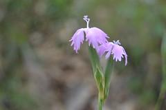 Dianthus sp. (esta_ahi) Tags: barcelona pink españa flores spain flora flor dianthus penedès caryophyllaceae silvestres clavellina olèrdola испания
