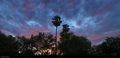 Palm sunset (salar hassani) Tags: sunset sony palm palo alto salar hassani rx100m3