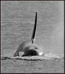 T123A Stanley (Selena Rhodes Scofield Photography) Tags: orca killerwhale selenarhodesscofieldphotography t123astanley