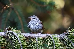 Young Chipping Sparrow (--Anne--) Tags: bird birds nature wildlife sparrow sparrows chippingsparrow spruce pine tree