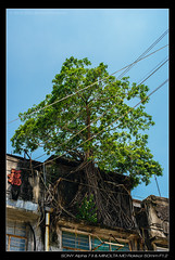 DSC09385 (YKevin1979) Tags: hongkong  yaumatei yaumateiwholesalefruitmarket   sony ilce7m2 a7ii a7m2 minolta rokkor manualfocus  md 50mm 50 f12 tree