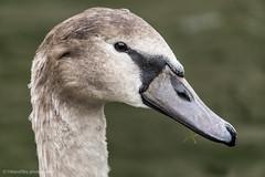 Cygnet Portrait (hillandsky) Tags: swan swans cygnet wildlife british bird birds waterfowl