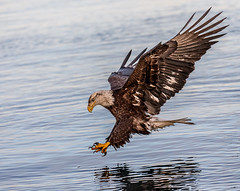 Adult Plumage (Andy Morffew) Tags: baldeagle subadult fishing inflight bif kachemakbay alaska andymorffew morffew explore inexplore naturethroughthelens