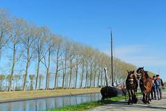 gejaagd door het kanaa bij Wilhelminadorpl (Omroep Zeeland) Tags: jan berghout bietenrace jagende zeeuwse trekpaarden tjalk