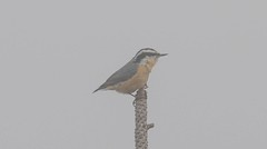 7K8A1729 (rpealit) Tags: scenery wildlife nature stokes state forest sunrise mountain redbreasted nuthatch bird fog