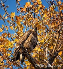 October 18, 2016 - A juvenile Bald Eagle sits among fall colors at the Rocky Mtn Arsenal. (Michelle Jones)