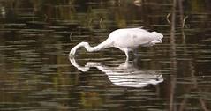 Ardea Alba (Domenico777) Tags: ardea alba bird uccelli ardeide airone bianco