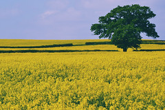 lone tree (C-Smooth) Tags: tree nature spring yellow plants rapeseedfield one landscape view