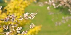 the spring on autumn (yoshinori.okazaki) Tags: 四季桜 イチョウ 春 秋