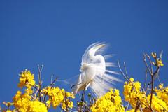 Serie com a Garca-branca-grande, no topo do Ipe-Amarelo - Series with the Great Egret (Casmerodius albus, sin. Ardea alba) at the top of the Trumpet tree, Golden Trumpet Tree (Tabebuia [chrysotricha or ochracea]) - 02-09-2015 - IMG_8618 (Flvio Cruvinel Brando) Tags: srie garabrancagrande casmerodiusalbus ardeaalba series greategret ave aves bird birds pssaro pssaros passarinho braslia brasil brazil natureza naturaleza nature cor cores animal animals animais flviobrando planta plantas plant plants color colorida coloridas amarela rvore rvores tree trees arbl trumpettree goldentrumpettree paudarco tabebuia flor flower flores flowers sries amarelo ip ipamarelo tabebuiachrysantha yellow flvio brando araguaney aoarlivre folhagem