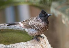 Red Vented Bulbul (asheshr) Tags: beautifulbird bird birdbath birdhavingabath birdsofindia birdsofodisha birdsoforissa bulbul odisha orissa redventedbulbul