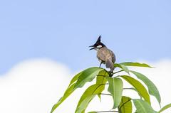 red-whiskered bulbul (arcibald) Tags: redwhiskeredbulbul bulbul bird birds aves vientiane laos laopdr pycnonotusjocosus