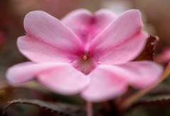 DSC_0038done (Arcus Cloud) Tags: shallowdepthoffield depthoffield dof australia nsw kariongparklands karionggardens centralcoast gardens garden macrophotography closeup macroflowers macro flowers flower pink