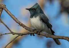 leaden flycatcher (Myiagra rubecula)-5668 (rawshorty) Tags: rawshorty birds canberra australia act campbell