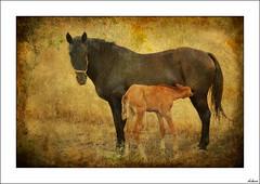 Crianza (V- strom) Tags: texturas nikon nikon2470 recuerdo fauna naturaleza luz amarillo caballo bonita te