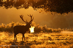 Sunrise Stag (Louise Morris (looloobey)) Tags: stag sunrise aq7i1341 bushypark october2016 1016 early reddeer breath golden glow