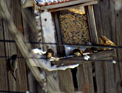 Sparrows 2 (~nevikk~) Tags: birds windowshot neighborsyard birdfeeder southwindowsnowbirdsetc11192016