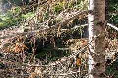 DSCF4274 (LEo Spizzirri) Tags: bevin morgan peter odin huck huckleberry shug cabin northwest seattle forest pacific mushroom moss josh betsy ladder green thick