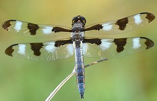 Twelve-spotted Skimmer, dorsal wing-spread / EXPLORE 11/22/2016