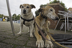 Patience Or Resignation? - 52 Weeks For Dogs, 43/52 (me'nthedogs) Tags: 52weeksfordogs 4252 snaps terrier jackrussell jrt ruben lurcher longdog watchet harbour somerset
