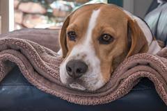 Contemplation (- Jan van Dijk) Tags: beagle tz110 lumix perro hond hund chien bestfriend panasonicdmctz110 contemplative pensive contemplation