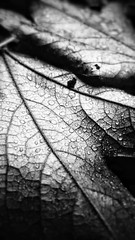 Novemberdays (stefan_wolpert) Tags: fall fallseason herbst herbstlaub schwarzweis schwarzweisfotografie monochrome blackandwhite blackandwhitephotography leaf leaves closeup nahaufnahme nature naturephotography cellphonephotography cellphone bokeh rain rainy rainydays