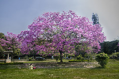Bangalore in Bloom (Anoop Negi) Tags: bangalore bengaluru india flower tree pride blooming cubbon park full purple lilac landscape treescape anoop negi ezee123 trumpet tabebuia impetiginosa