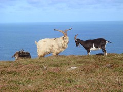 Wingnut and Other Feral Goats on the West Coast of Lundy (Abbey_L) Tags: animal bristolchannel devon feralgoat goat lundy lundyisland mammal sea wingnut