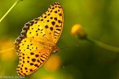 Silver-washed Fritillary (markus.jacobs1899) Tags:   nikkor300mm insect butterfly schmetterling d700 nikon insekten japan natur tiere wildtiere tabacdespagne