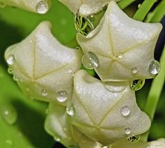 Gotas de chuva (Zza Lemos) Tags: flor portugal algarve vilamoura gotas gua jardim rain drops natur natural planta flordecera plantadecera