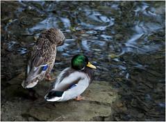 1076-UNA PAREJA FELIZ- PLITVICE - CROACIA - (-MARCO POLO--) Tags: parques rincones animales lagos cascadas naturaleza