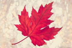 Marco Monday  Backlit (nielsterbalkt) Tags: backlight backlit macromondays macro leaf red mondays closeup bright colors autumn fall canon