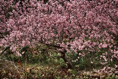 老農夫的櫻花樹 Old farmer's cherry tree (rightway20150101) Tags: 櫻花 樹 cherry tree taichung taiwan flowers sakura