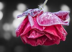 Rose (uschmidt2283) Tags: blumen christes oberschnau wasserlauf deutschland thringen