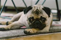 Heitu-00049 (kiddfei2012) Tags: pug dog pet puppy