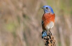 Western Bluebird (male) (andrewj1882) Tags: western bluebird sialia mexicana
