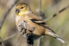 Po-ta-to-chips and Goldfinches (MelRoseJ) Tags: davis california unitedstates a77ii alpha autofocus sonyalpha sal70400g sony sonyilca77m2 nature birds americangoldfinch