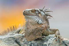 Iguana (Linda Martin Photography) Tags: stmaarten stmartin lesserantilles leewardislands reptile iguana caribbean caribbeancruise coth ngc
