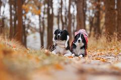 Border collie (yanasalkova) Tags: dog dogs macro eyes eye blue 365 project animals animal