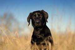 Bichou (uwe.kast) Tags: labrador labradorredriever labradorretriever hund dog welpe puppy nikon nikond3 d3 bokeh