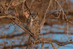 Great Horned Owl (Happy Photographer) Tags: greathornedowl owl night raptor autumn colorado wildlife nature