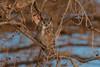 Great Horned Owl (Happy Photographer) Tags: greathornedowl owl night raptor autumn colorado wildlife nature