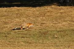 Renard roux /Fox (safrounet) Tags: suisse europe renardroux fox mammifre mammal prdateur predator roux renard