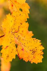 Herbst in den Weinbergen (Gerosas) Tags: bokeh detail fellbach herbst laub makro makroplanart2100 offenblende oktober remsmurrkreis weinberge weinblatt weinlaub zeiss