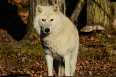 Arctic Wolf, Loup Arctique, Canis Lupus Arctos, Lobo Artico, Lobo Polar, Lobo Blanco, Arctische Wolf (Guy Lacroix) Tags: arcticwolf louparctique canislupusarctos mammifère loup animal arcticulv mammal predator prédateur wolf guylacroixflickr nekra bighana hurar yitiaolang vuk vlk ulv hunt susi wulf lupo ookami vilks wilk lup bolk wolk kurt blaidd dib tamronsp150600mm nikond7100