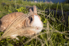IMG_1779.jpg (ina070) Tags: animals canon6d cute grass outdoor outside pets rabbit rabbits